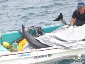 Juvenile dolphins inside boat