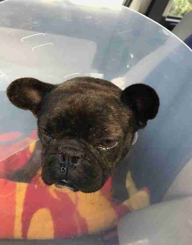 French Bulldog Dumped By Breeder When She Couldnt Have Puppies