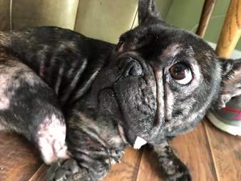 Pheonix, the puppy mill bred French bulldog