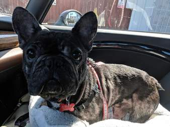 French bulldog puppy mill mom Phoenix