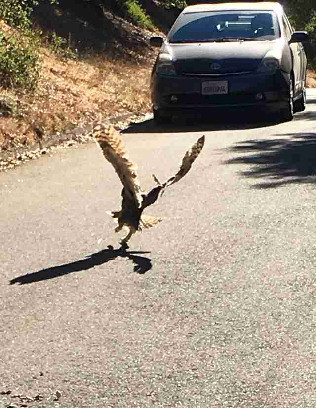 Great-horned owl flying away after rescue from kite string