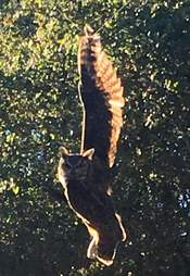 Wild great-horned owl caught in kite string in California