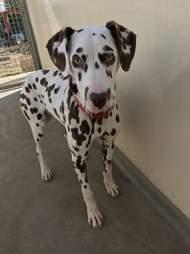 sick dalmatian puppy