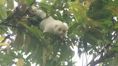 Slow loris climbing through tree in forest