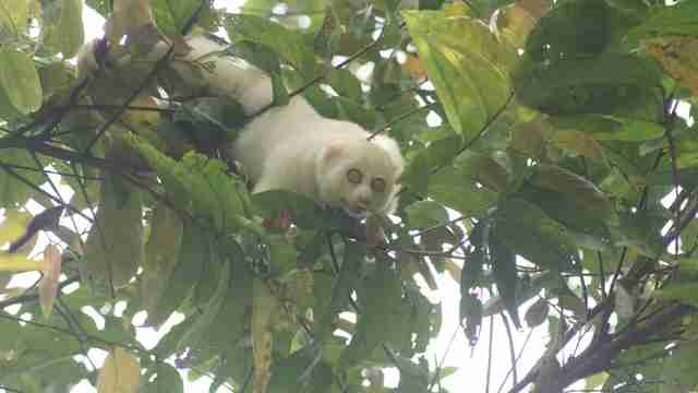 Slow loris climbing through tree in forest