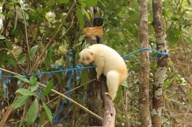 Albino slow loris on tree in forest