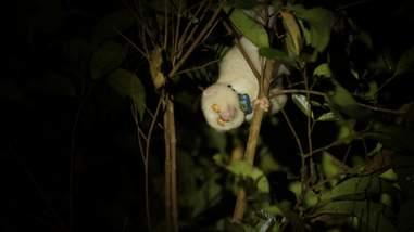 Albino slow loris inside tree at night