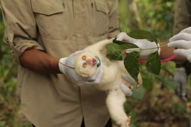 Albino slow loris fitted with radio collar
