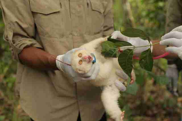 Albino slow loris fitted with radio collar
