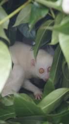 Rare albino slow loris hiding among leaves