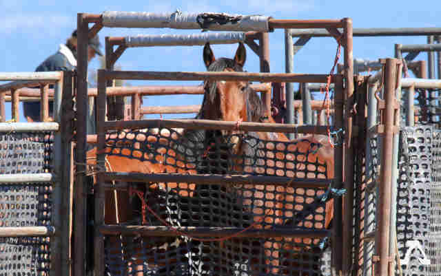 Wild horses inside holding pen in California