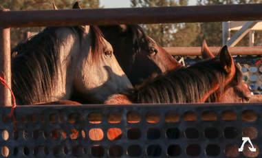 Wild horses inside pens