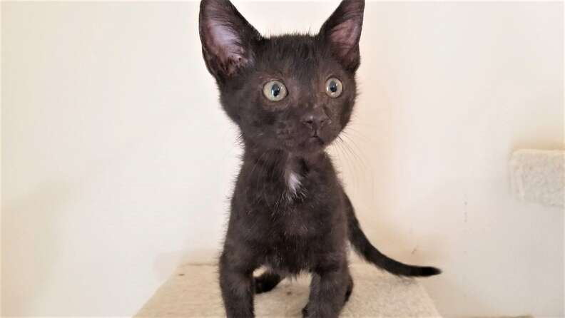 Black kitten standing on cat tree