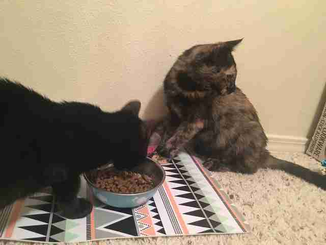 Cats sharing food bowl