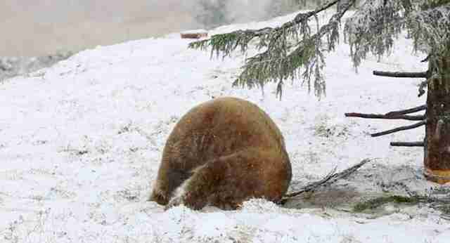 Bear freed from circus enjoys first snow