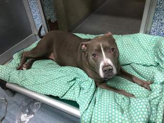 Pit bull lying on blankets in kennel