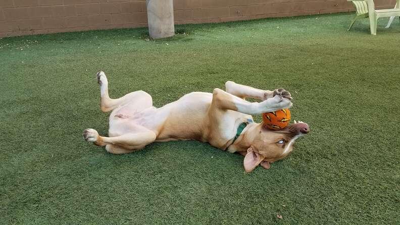 Binx, a husky mix, returned to Arizona shelter for good behavior