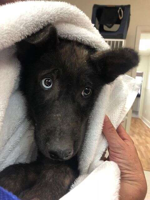 Dog with sad eyes wrapped up in blanket