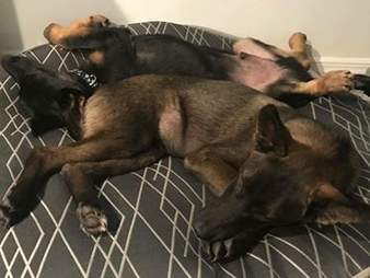 German shepherds lying on bed together