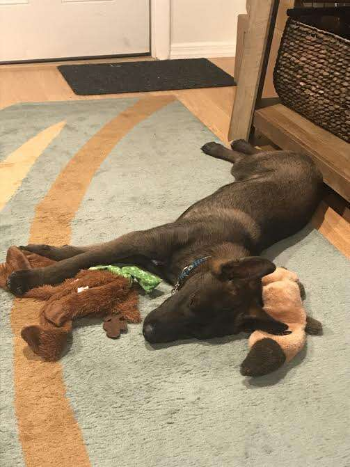 Dog lying on floor with toys