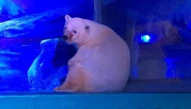 Polar bear in tin zoo tank