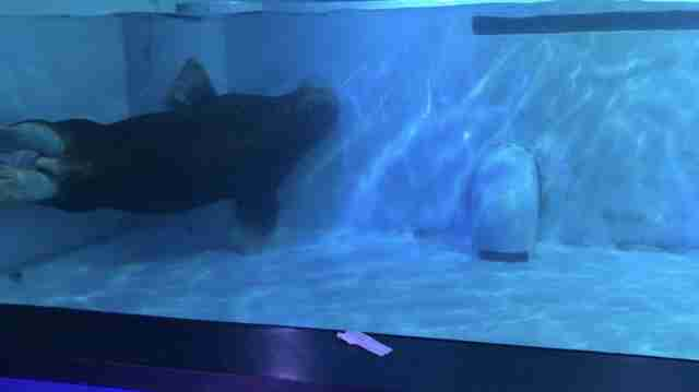 Walrus using pool wall to turn in tank