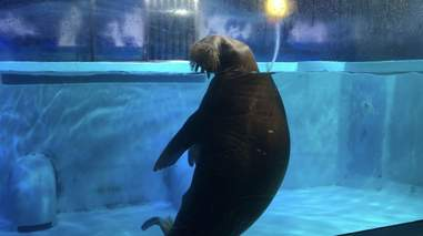 Walrus inside tank at aquarium