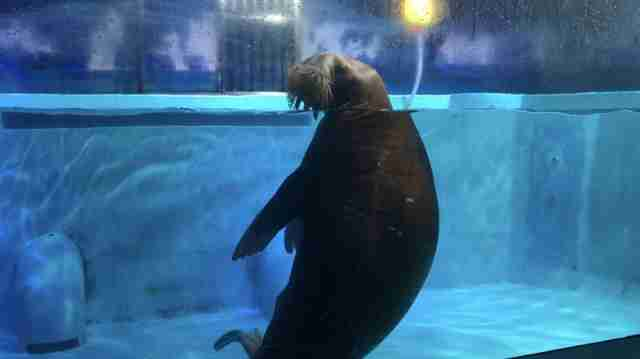 Walrus inside tank at aquarium