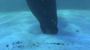 Sea lion biting at floor of tank