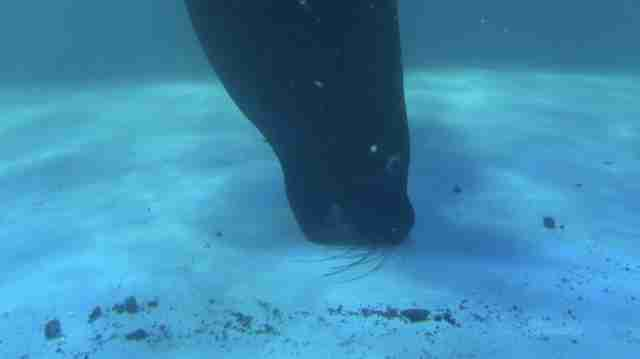 Sea lion biting at floor of tank