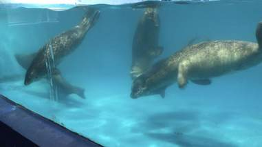 Spotted seals inside tiny tank