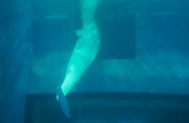 Beluga whale inside tiny tank