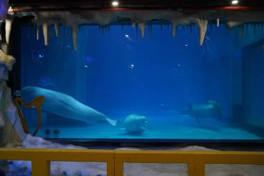 Captive belugas in tiny tank