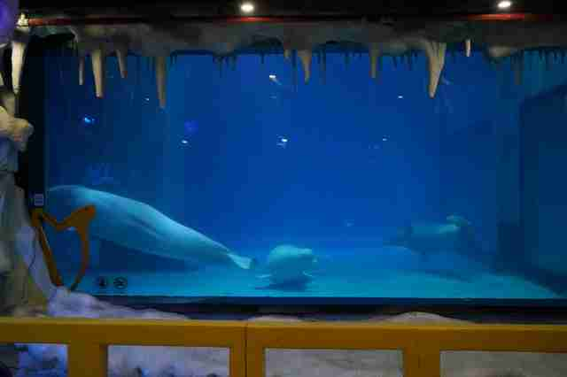 Captive belugas in tiny tank