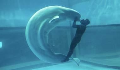 Beluga being forced to perform at aquarium