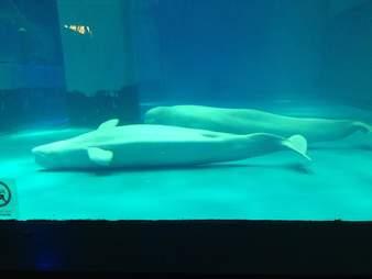 Belugas lying on floor of tank