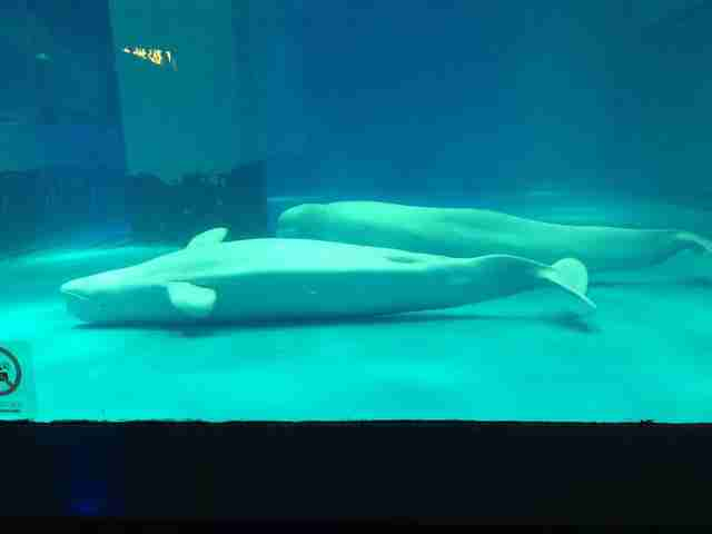 Belugas lying on floor of tank