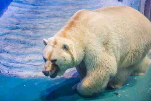 Polar bear in tiny tank at zoo