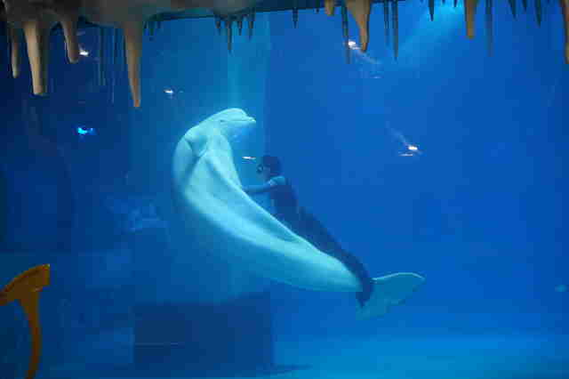 Captive beluga being forced to perform