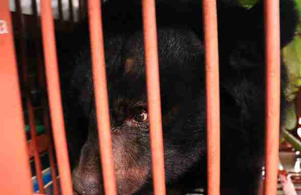 Captive moon bear being saved from Vietnam bile farm