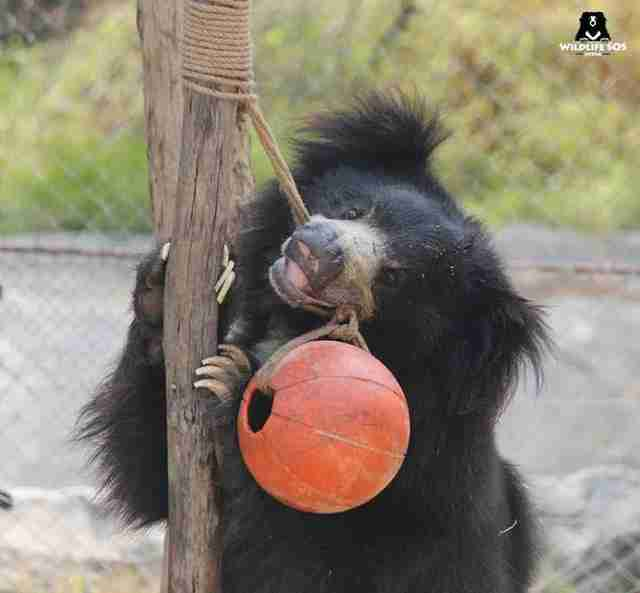 Rescued sloth bear playing with toy