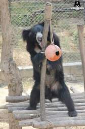 Sloth bear playing with enrichment toy