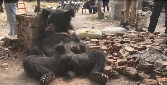 Dancing bear chained up against bricks
