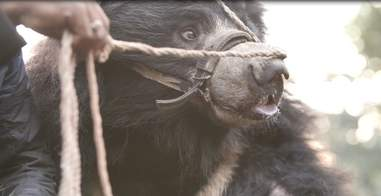 Dancing bear with rope through his nose