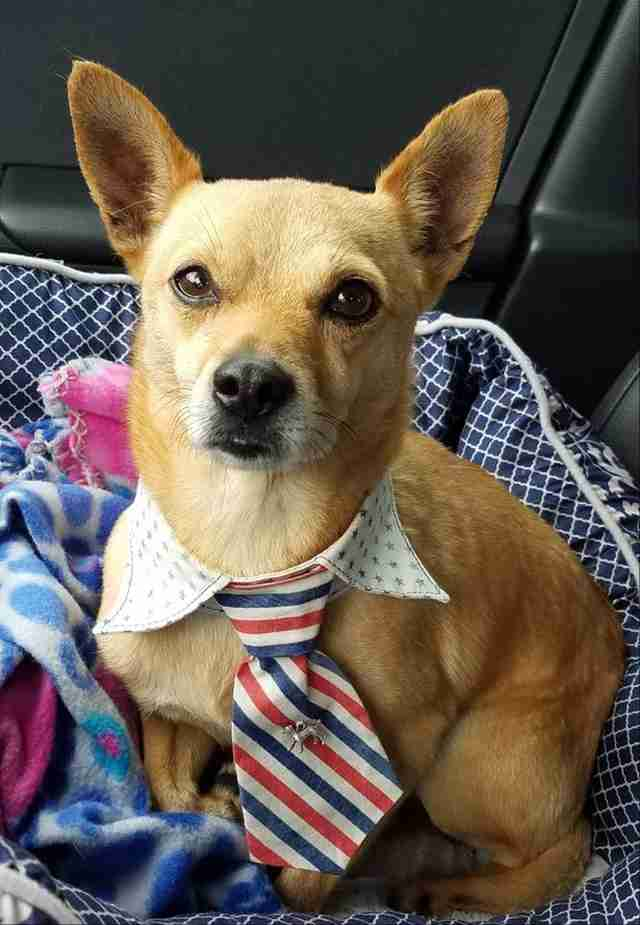 Rescued Chihuahua wearing tie around his neck