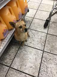 Stray Chihuahua standing in liquor store