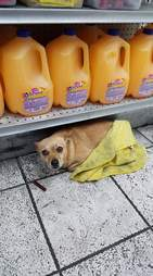 Stray Chihuahua hiding out in liquor store