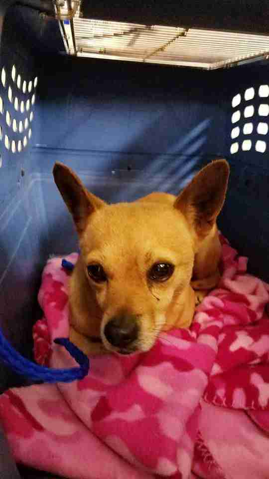Rescued Chihuahua inside travel crate