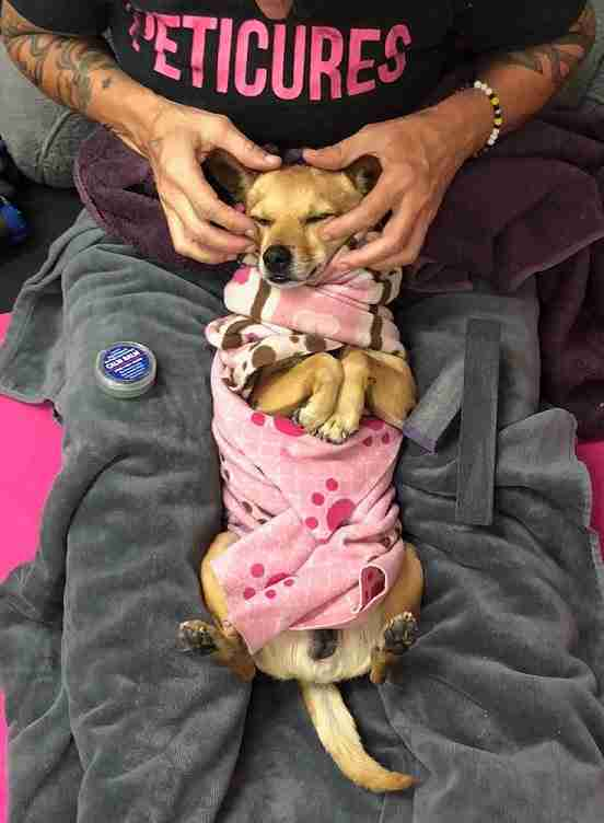 Chihuahua getting a massage
