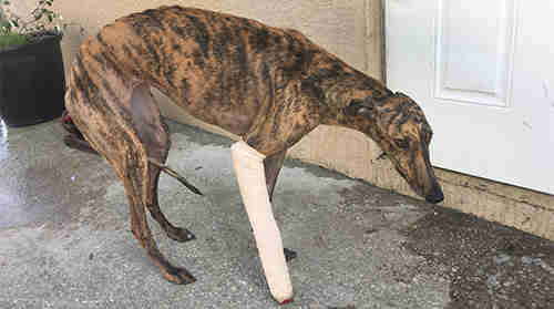 Holly the greyhound who suffered a broken leg at Palm Beach Kennel Club